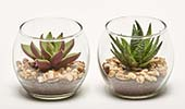 "2.8"" SUCCULENTS IN GLASS POT"
