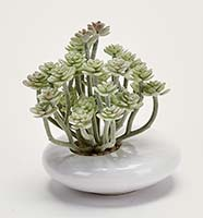 "5"" AEONIUM IN WHITE CERAMIC POT"