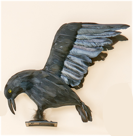 "12"" Flying Crow"