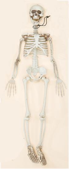 """35"""" Hanging Skeleton"""